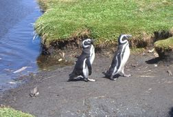 Penguin of Chiloe Excursion & Navigation