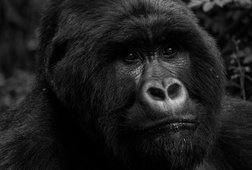 5-Days: Gorillas and Chimps