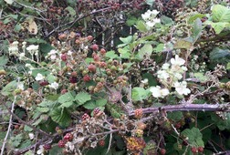 Presidio Wild Blackberry Hunt
